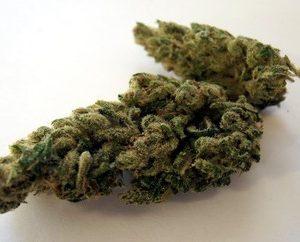 Buy Frida Marijuana Strain UK
